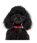 My Family-Poodle Negro (3)